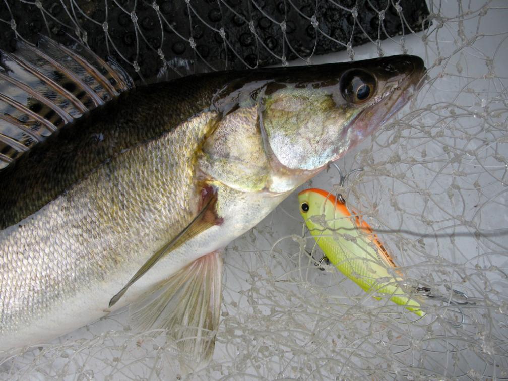Запрет на ловлю судака весной