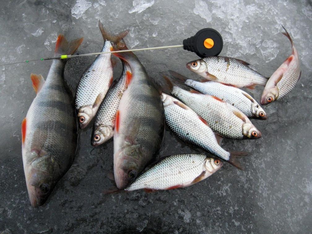 Плотва и окунь в декабре на безнасадку. Рыбинское водохранилище.