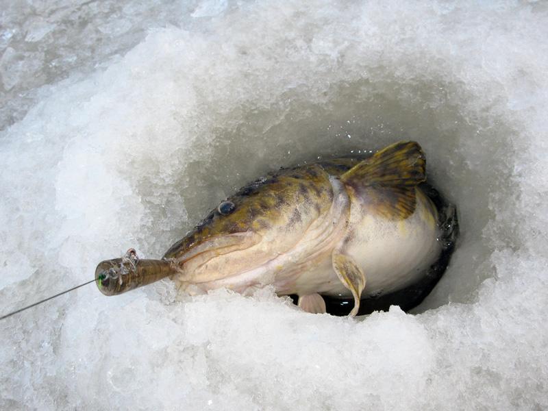 Ловля налима в декабре на Рыбинке